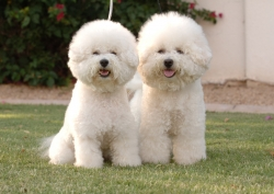 Top-10 Expensive Dog Breeds