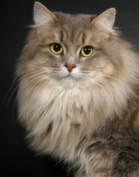 Top-21 Beautiful Cat Breeds. Photo Gallery