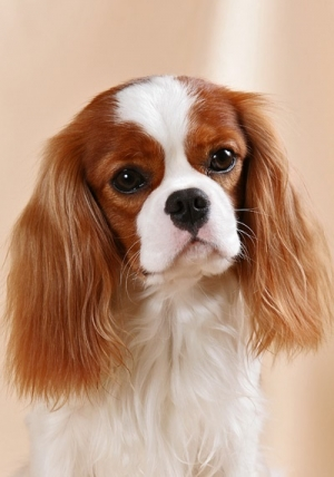 Spaniel Breeds: All the Truth About