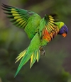 Beauty  of Australian parrots _