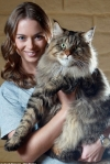 Maine Coon - the largest breed of cats (video and 50 photos)