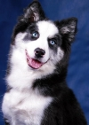 Sled dog breeds (15 photos)