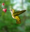 Humming Birds - The Cute Little Smallest Birds